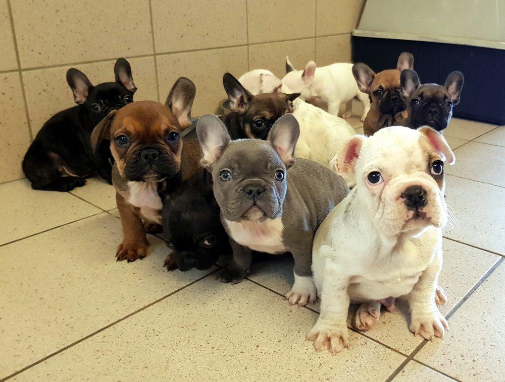 Franzosische Bulldoggen Und Boston Terrier Zur Vermittlung Freigegeben Tierschutzhaus Sonnenhof Burgenland